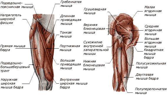 Мышцы тазобедренного сустава человека монастырский чай от суставов в городе омск