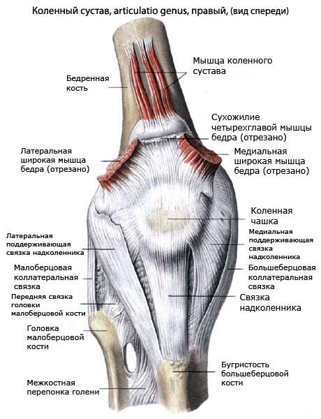 Коленный сустав.мышцы, обеспечивающие движение в нём челюстной сустав народное лечение
