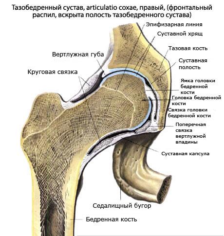 Тазобедренный сустав (Articulatio coxae, Артикуляцио коксэ)