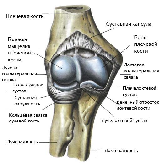 Строение локтевого сустава человека рисунок йога при остеоартрозе плечевого сустава