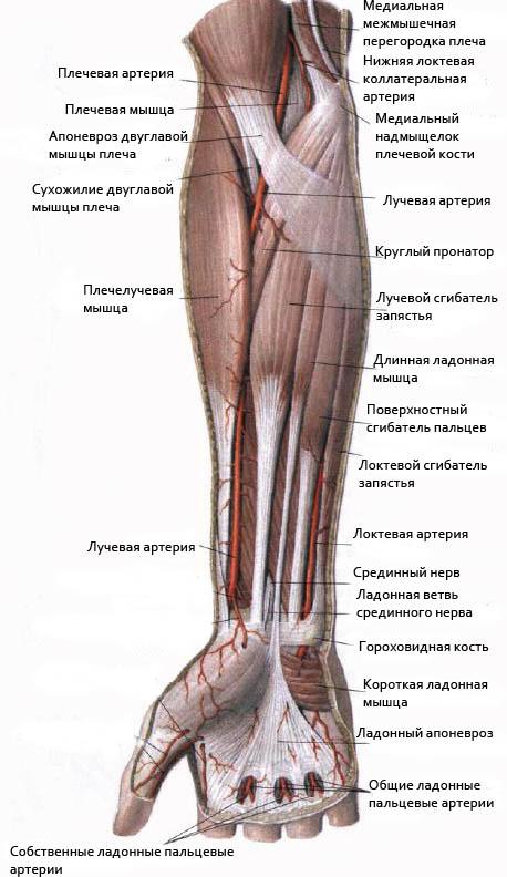Мышца плеча сгибающая плечевой и локтевой суставы схема лечения артрита локтевого сустава